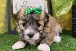 Francis - Havanese for sale