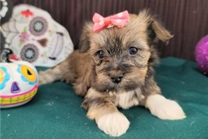 Trudy - Havanese for sale