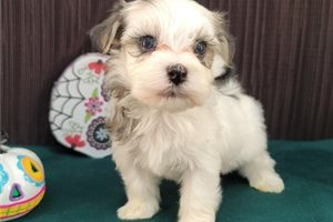 Terry - Havanese for sale
