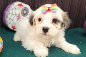 Tammy - Havanese for sale