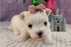 March - Maltese for sale