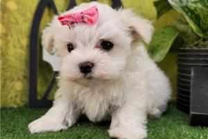 Maisy - Maltese for sale