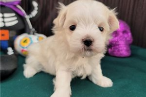 Chad - Maltese for sale