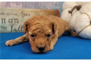 Raider - Poodle, Toy for sale