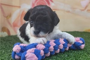 Laura - Poodle, Toy for sale