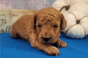Reed - Poodle, Toy for sale