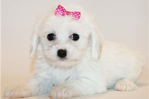Mary Kate - Cavachon for sale