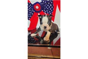 Blake - Boston Terrier for sale